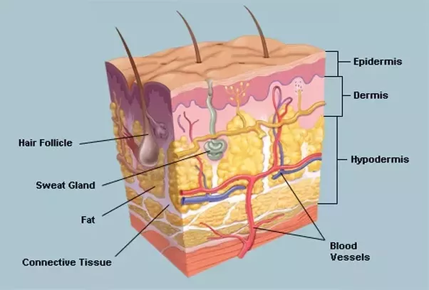 image of layers of skin